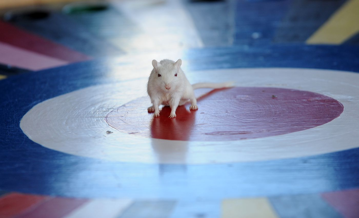 The gerbil looks around and then dives into one of the colored holes at the Elks Palmer Lodge 1842 Charity Rat Race at the Alaska State Fair in Palmer, AK on Saturday, August 27, 2016. (Bob Hallinen / Alaska Dispatch News)