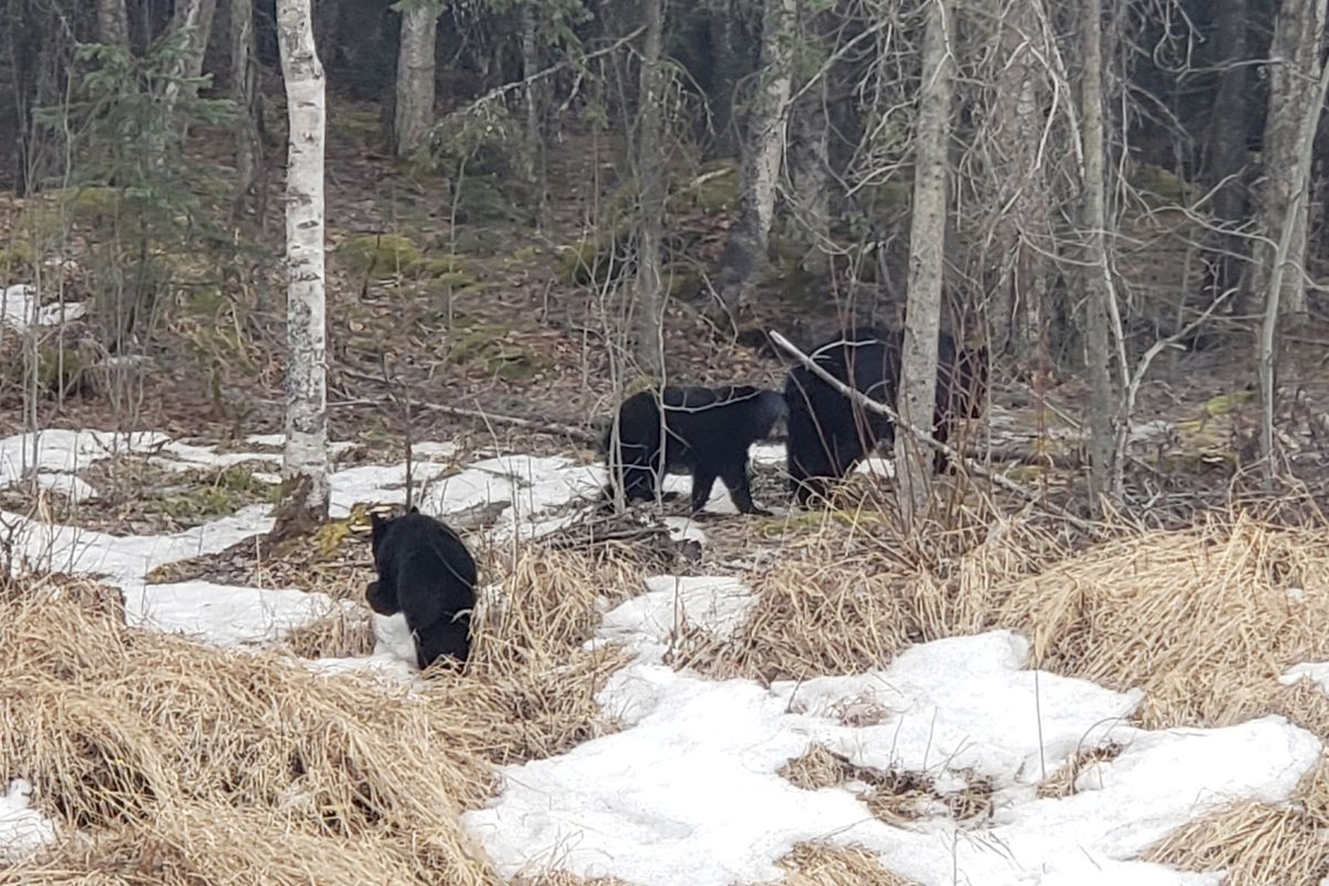 Eagle River resident Shane Daniels spotted a black bear sow and two cubs near Arctic Valley Road on Thursday, April 4, 2018. (Photo by Shane Daniels)