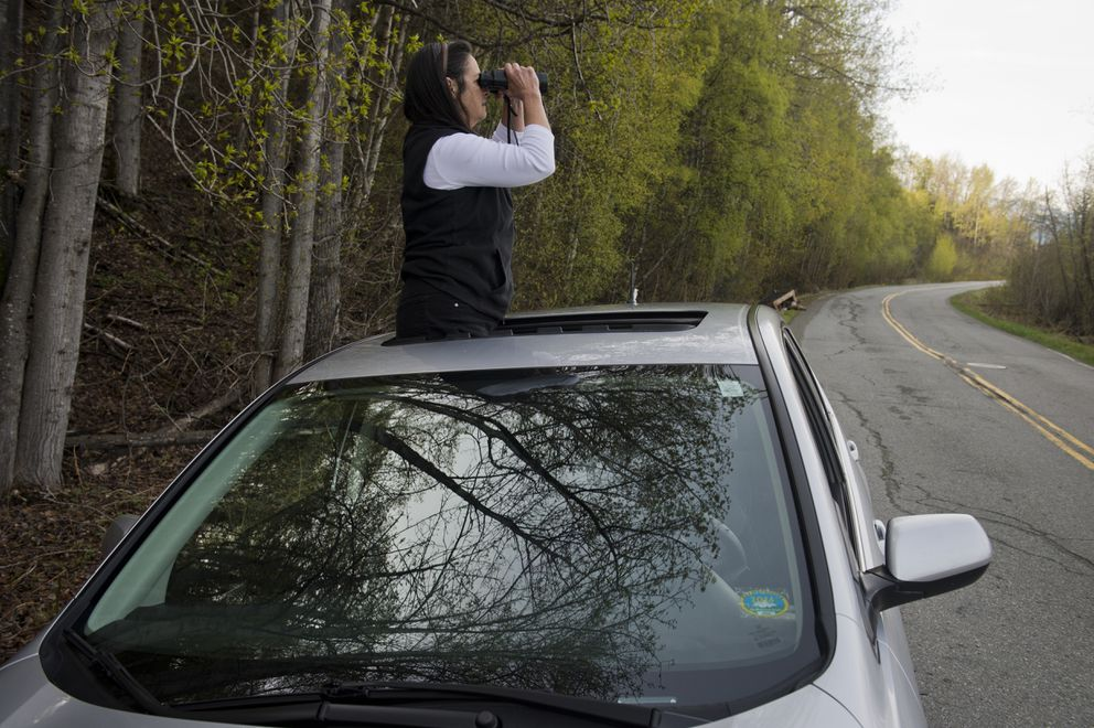 Antonia Fowler sits on her car as she looks for the falcated duck on Potter Marsh. An opportunity to see a falcated duck is drawing birders to Potter Marsh on May 9, 2019. The Asian bird is rarely spotted in Alaska. (Marc Lester / ADN)