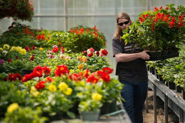 Chris Elander gathers plants to load onto a flatbed truck for distribution to flower beds around the city on May 22, 2017. (Marc Lester / Alaska Dispatch News)
