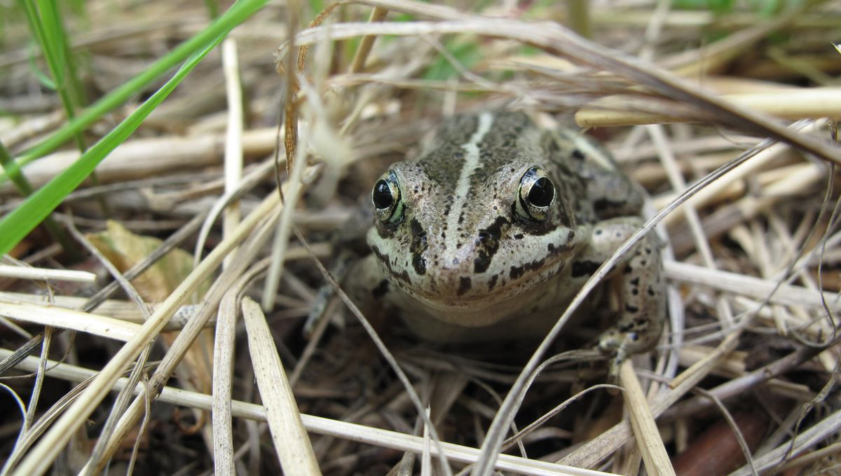 A wood frog, now freezing in a bog near you. (Ned Rozell)