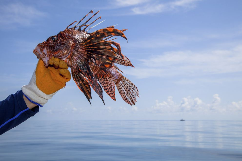 A lionfish caught in the waters off Biscayne National Park south of Miami, Sept. 17, 2014. (Angel Valentin / The New York Times file)