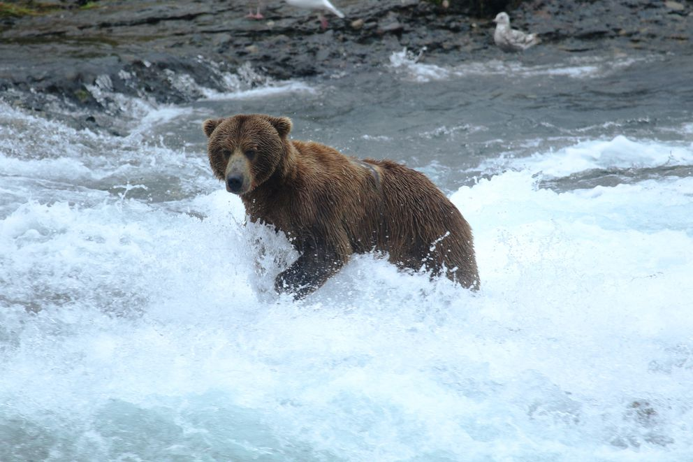 A McNeil River bear fishes for meals in 2016. (Courtesy Alaska Department of Fish and Game)