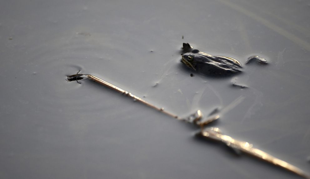 A water strider moves off a reed as a wood frog rests in a small pond at Point Woronzof in West Anchorage on April 21, 2016. Wood frogs in Alaska freeze almost solid in the winter. Their hearts stop beating the as they hunker down in the forest floor litter. Water striders are able to move across the surface of bodies of water. (Bob Hallinen / ADN archive)