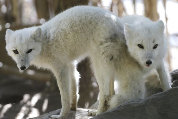 Six-month-old arctic foxes look out from their enclosure at the Stone Zoo in Stoneham, Mass. Thursday, Oct. 18, 2012. (AP Photo/Elise Amendola)