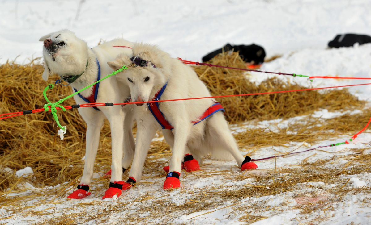 Team dogs Lizzie and Joel stretch out after musher Gunnar Johnson arrived at the Ruby checkpoint during the 2017 Iditarod Trail Sled Dog Race on Thursday. (Bob Hallinen / Alaska Dispatch News)