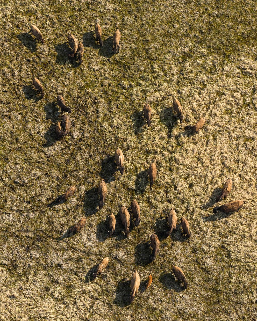 A group of wood bison in a sedge meadow in the Innoko River area on May 26 (Loren Holmes / Alaska Dispatch News)