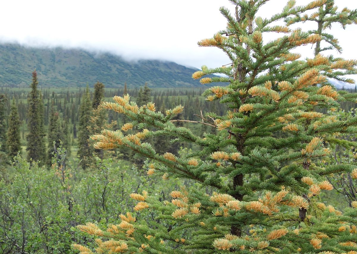 A white spruce tree infected by spruce needle rust fungus, a cosmetic disease that does not kill the tree. (Photo by Ned Rozell)