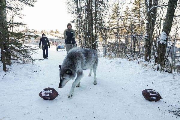 The Alaska Zoo's wolf Denali picks a treat from one of two paper mâché footballs on Saturday, Feb. 2, 2018. Denali picked a football with the Patriots name on it, signifying that he thinks they will win the Super Bowl. (Loren Holmes / ADN)