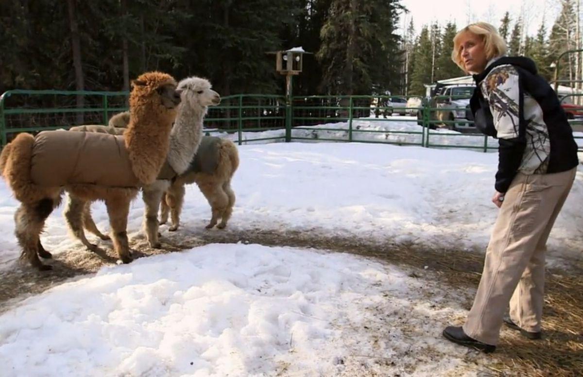 "Dr. Dee visits an alpaca farm on an episode of ""Dr. Dee: Alaska Vet."" (Screen capture via Animal Planet)"