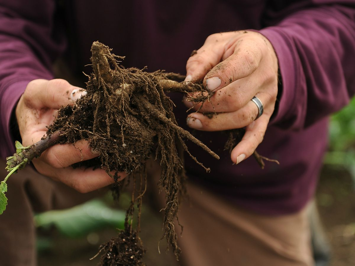 Rob Wells grows and sells dahlias and dahlia tubers from his Palmer area farm. He'll have tubers at the Center Market this week. (Bob Hallinen / Alaska Dispatch News archive 2013)