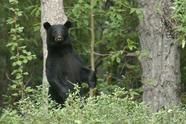 A young black bear stands up to get a better look at campers near Thunder Gorge about a mile from the river crossing on the Crow Pass trail. Two black bears were spotted in the area the morning of the Crow Pass Crossing race in 2002. (Evan R. Steinhauser / ADN archive 2002)