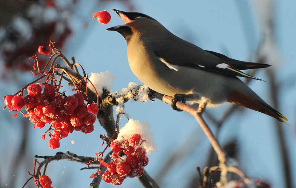A Bohemian waxwing tosses up a mountain ash berry before catching it while feeding on Government Hill near downtown Anchorage on Thursday, Jan. 5, 2017. (Bill Roth / Alaska Dispatch News)