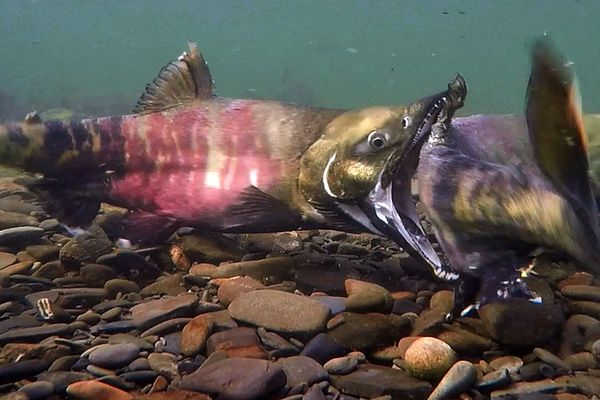 Male chum salmon spar during spawning time on the Salmon River, a tributary of the Aniak River in Southwest Alaska, on Saturday, July 8, 2017. Of all Pacific salmon, male chum tend to fight during spawning more than any others, said Aniak biologist Dave Cannon, who captured the images with a GoPro and selfie stick, taking screen grabs from the video. Chum grow an elongated snout called a kype, and are armed with fierce teeth much like a canine's, Cannon said. Experts say the changes might be to help them compete for mates, he said. This pictured male was particularly aggressive. It bit the other male more than 20 times in two hours, mostly around the tail area and occasionally in the mid-section, Cannon said. (Dave Cannon)