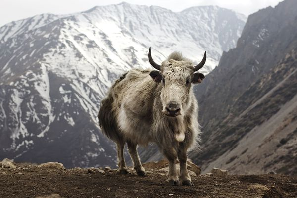 A yak (Bos grunniens) at Letdar on the Annapurna Circuit in the Annapurna mountain range of central Nepal. (travelwayoflife via Wikipedia)