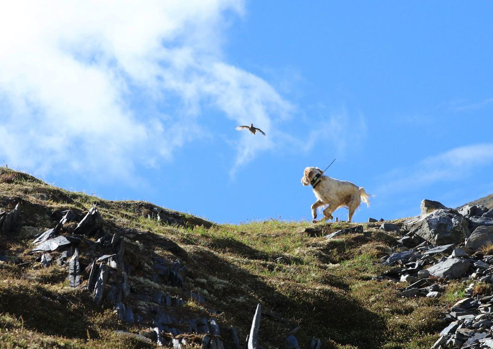 Hugo chases a ptarmigan, which he knows better than to be doing at this point. (Photo by Steve Meyer)