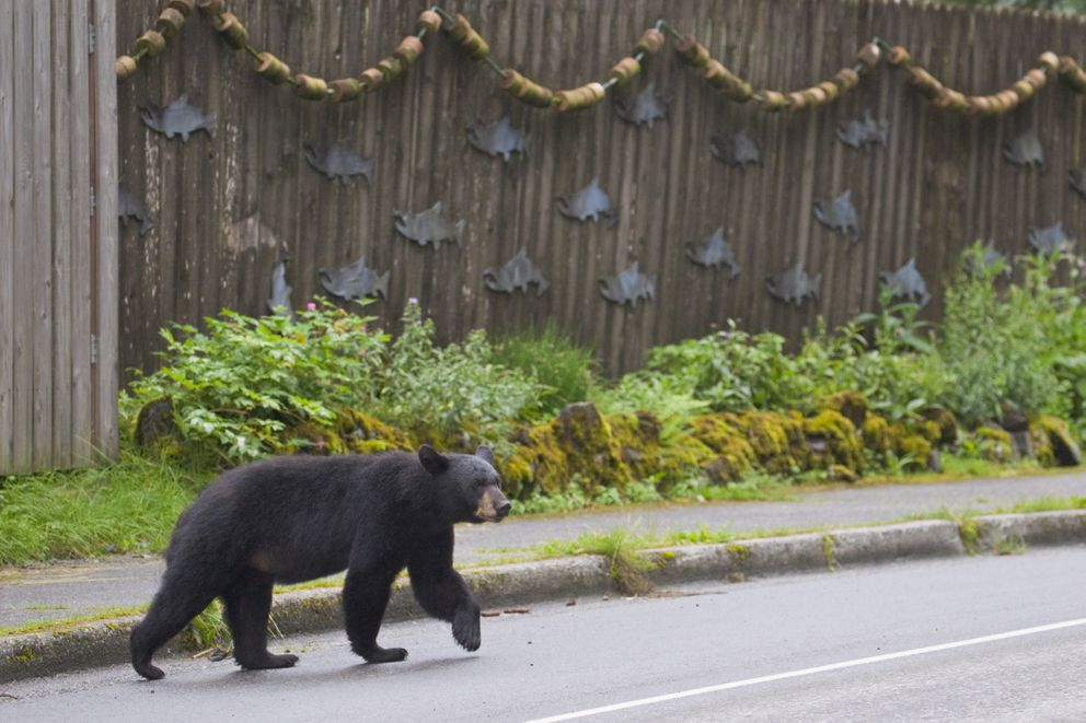 A black bear strolls across Main Street in front of a residential fence decorated with wooden salmon cutouts in Cordova, AK on Aug. 8, 2018. (Milo Burcham photo)