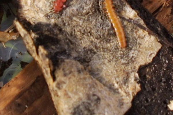 The red flat bark beetle in adult, left, and larval stage. (Photo by Ned Rozell)