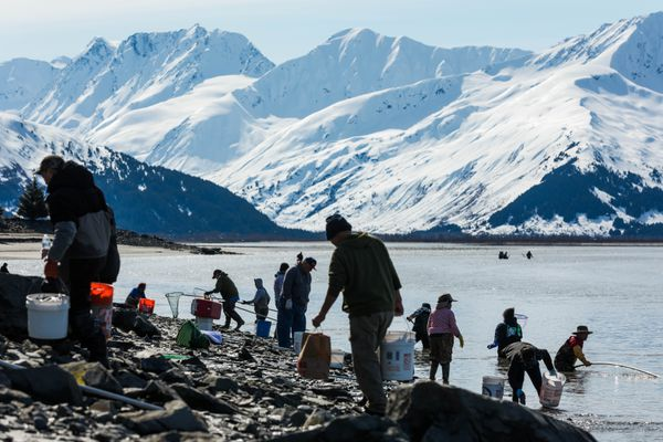 People fish for hooligan on April 30, 2019 north of Twentymile River along Turnagain Arm. The returns are unpredictable, but generally peak by mid-May, according to the Alaska Department of Fish and Game. (Loren Holmes / ADN)