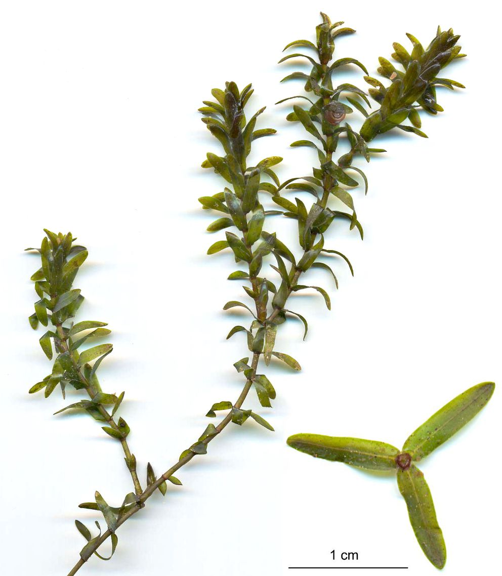 Canadian waterweed, Elodea canadensis (with enlarged cross section of a single whorl). In this instance, the leaves are relatively long and narrow (four times longer than wide). (Photo by Christian Fischer / Creative Commons)