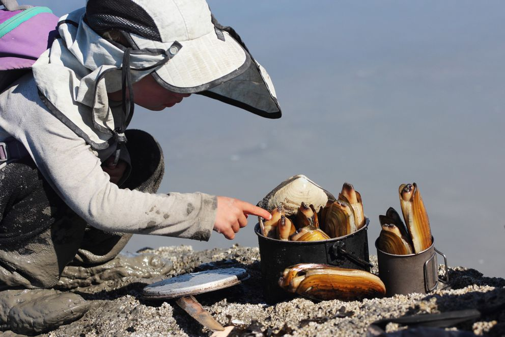 Katmai McKittrick pokes a harvest of razor clams near Polly Creek on the west side of Cook Inlet in 2013. (Erin McKittrick / Ground Truth Trekking)