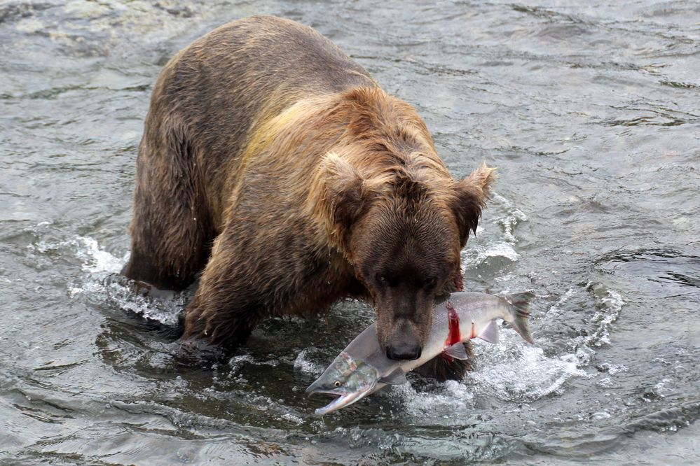 A brown bear heads to shore with a sockeye salmon at Brooks River on July 19, 2017, in Katmai National Park. (Tegan Hanlon / Alaska Dispatch News)