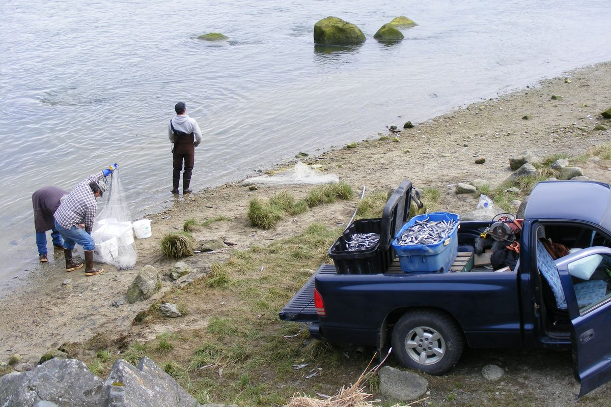 Tlingit fishermen use pickups to haul hooligan from the Chilkoot River near Haines on an access route that was the subject of a legal battle with Rueben and Rosalie Loewens, who claimed ownership of the land. The photograph became an exhibit in the case, submitted by attorneys for Native groups fighting to keep the route open. (Kristen Miller)