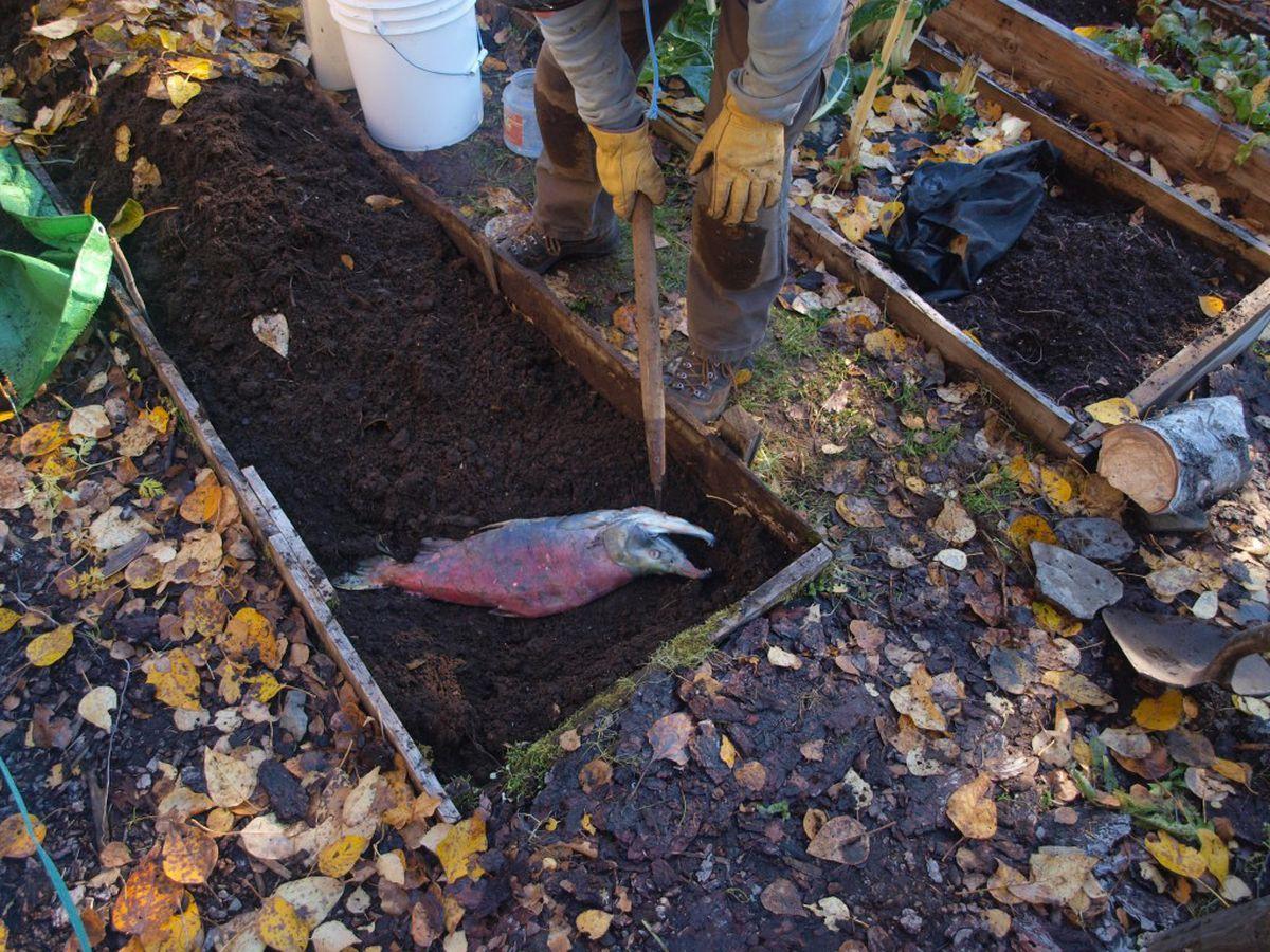 The fall ritual of burying salmon in the garden. (Steve Kahn)
