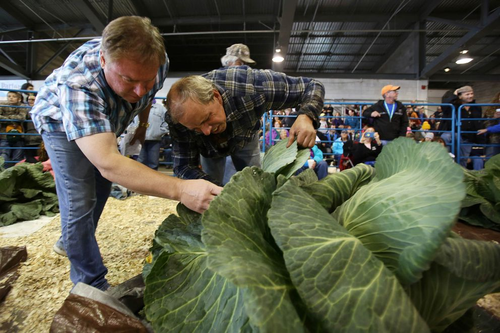 """Steve Hubacek, left, and Brian Shunskis take a look at """"Surprise,"""" Shunskis' cabbage at the Alaska State Fair in September2015. Hubacek took first place in the giant cabbage weigh-off with a 92.15-pound entry, and Shunskis took second with a weight of 83.85 pounds."""