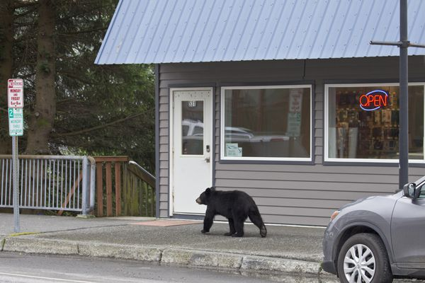 A Black Bear strolls past Copper Valley Wireless storefront on Main Street of Cordova, AK on Aug 8, 2018. (Milo Burcham photo)