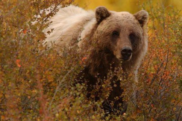 A grizzly bear looks up from grazing along the Denali National Park road near Sable Pass. The park road will open up for the end of season lottery winners to drive the road September 13th to the 16th. Anchorage Daily News Photo/ Bob Hallinen 8/30/02