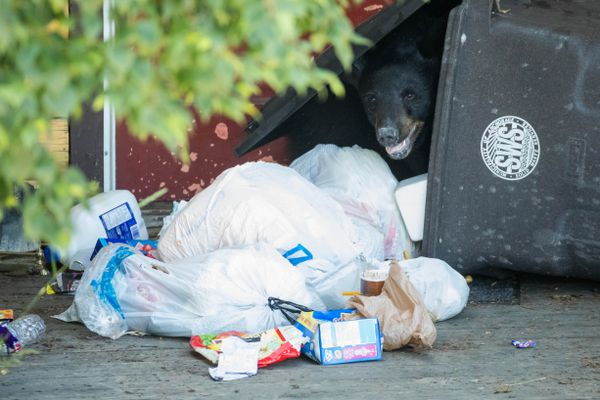 A young black bear peers out from within a trash can in Fairview Wednesday, July 12, 2017. (Loren Holmes / ADN)