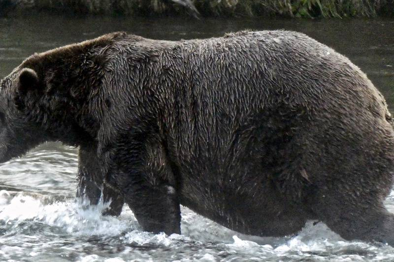 Fat Bear Week is here. Here's how to celebrate, according to huge fans.
