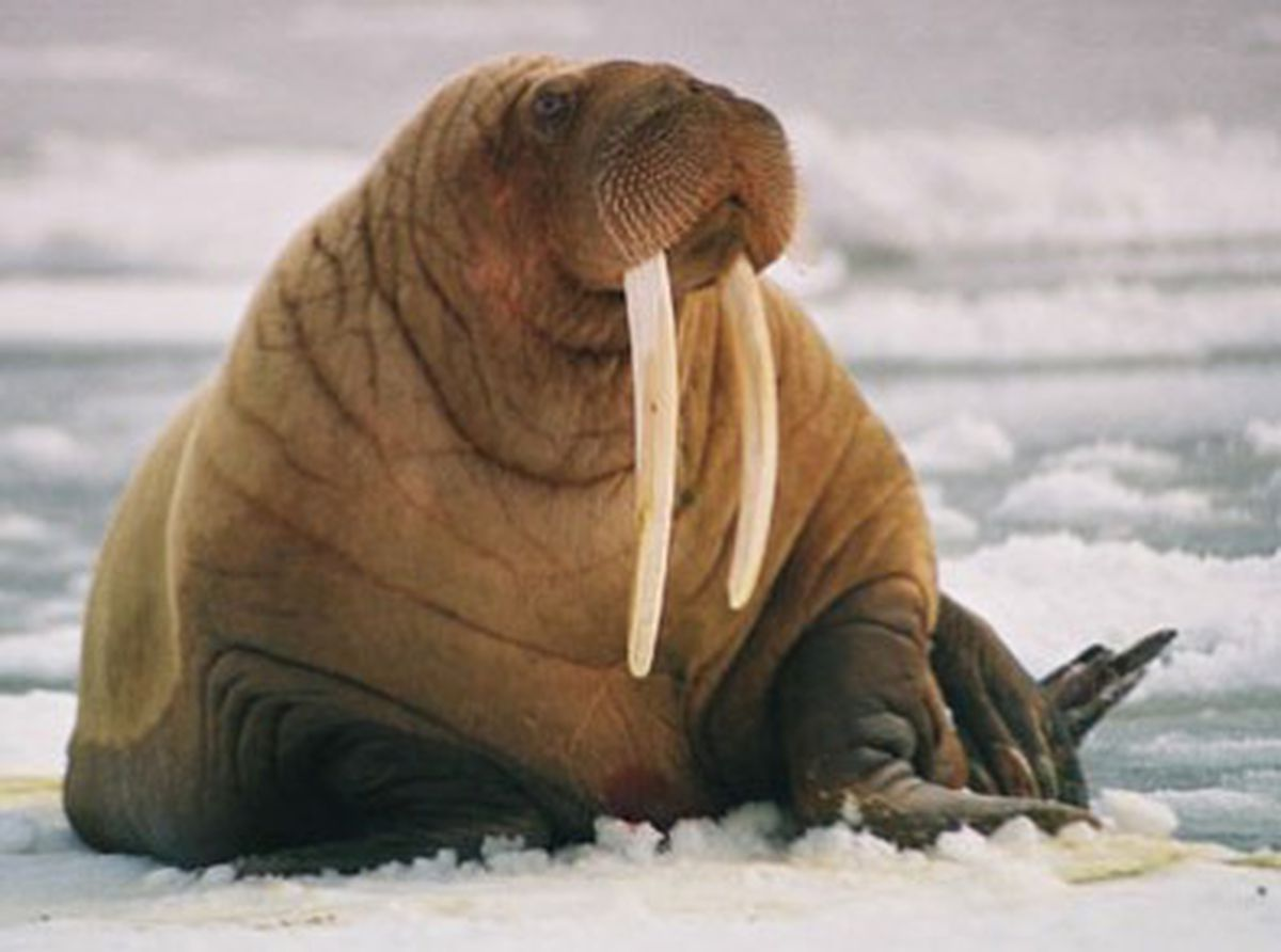skagway gallery owner accused of smuggling walrus ivory anchorage
