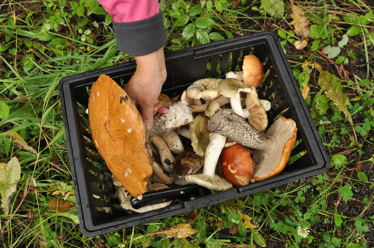 A full basket of birch boletes and green russulas – the most common edible mushrooms near Goose Lake on Friday August 28, 2009. (Bob Hallinen / ADN)