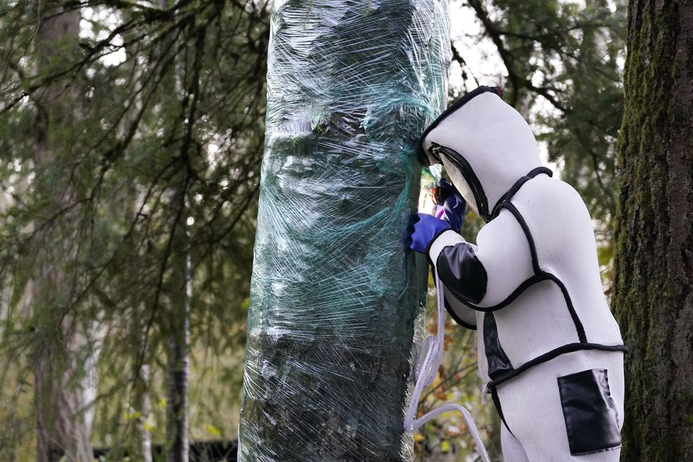 Wearing a protective suit, Washington State Department of Agriculture entomologist Chris Looney fills a tree cavity with carbon dioxide after vacuuming a nest of Asian giant hornets from inside it Saturday, Oct. 24, 2020, in Blaine, Wash. (AP Photo/Elaine Thompson)