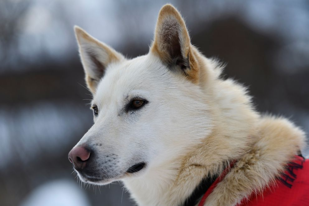 Carhartt is a 3-year-old dog on Matt Hall's team. Photographed in Takotna during the Iditarod Trail Sled Dog Race on March 6, 2019. (Marc Lester / ADN)