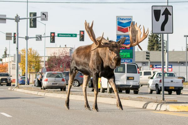 A large bull moose walked from 40th & Wisconsin to the BP parking lot Sunday Oct. 15, 2017. He walked the almost 4 miles without stopping except for a nibble or two along the way. Most of the time he was walking right down the middle of the roads; Spenard, 36th, crossed over to the Benson Walmart and then on past the Moose's Tooth before then crossing the Seward Highway in heavy traffic. Luckily the cars stopped as he sure didn't pause to look. (Doug Lindstrand)