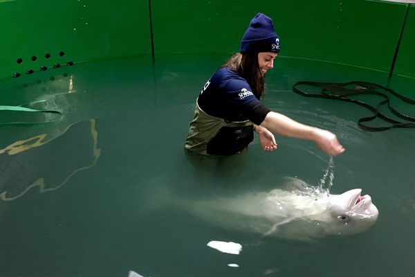 Maura Redding from the Shedd Aquarium in Chicago works with the beluga calf at the beginning of October 2017 at the Alaska SeaLife Center in Seward. (Alaska SeaLife Center)