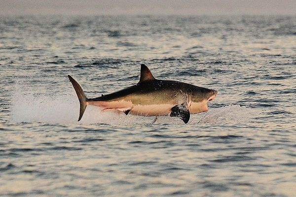 A Great White shark jumps out of the water as it hunts Cape fur seals near False Bay, on July 4, 2010 in South Africa. A new study from OCEARCH shows that great white sharks have toxic levels of poisons like arsenic and mercury in their blood. (Carl de Souza/AFP/Getty Images/TNS)