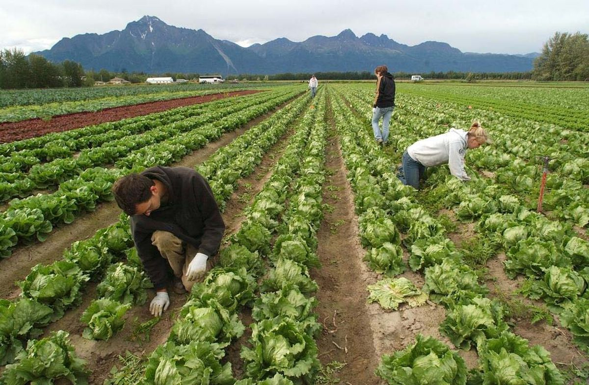 Tyler Franklin of Palmer and Krystal Heimerl of Wasilla weed between the rows of head lettuce in one of the VanderWeele Farms fields. (Fran Durner / ADN archive)