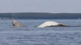 Survey shows continuing population decline for Cook Inlet belugas
