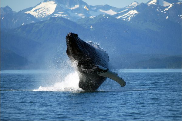 The National Oceanic and Atmospheric Administration is collecting comments for new guidelines on human-made noises that affect marine mammals, such as this humpback whale.