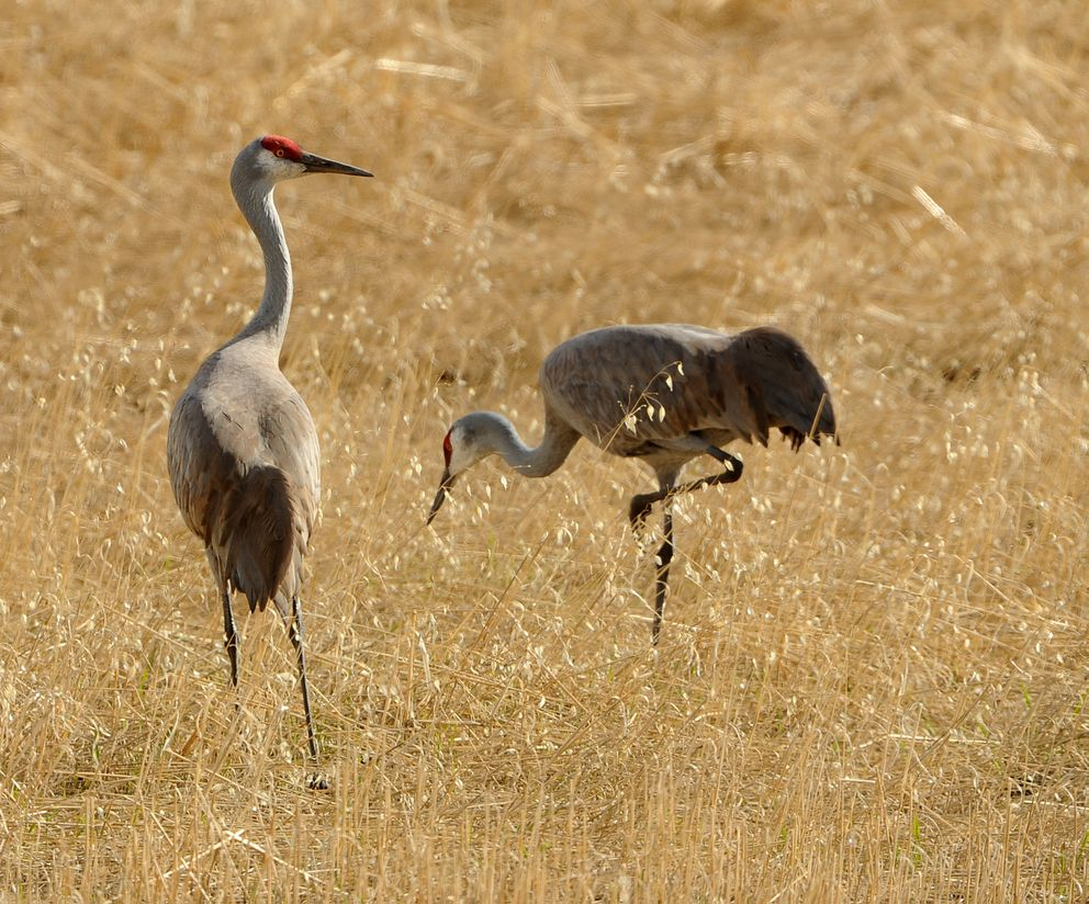 Sandhill cranes stop in the Valley to feed on their migration north. (Bob Hallinen / ADN)
