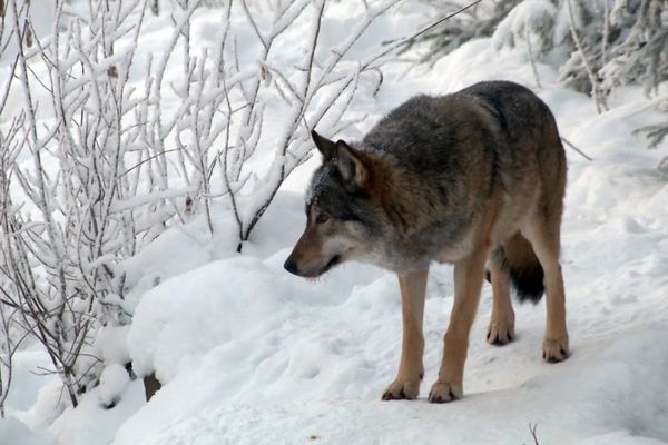 In this image made from video taken on Monday, Dec. 14, 2015, a wolf walks through the snow at a wolf enclosure in Ranua Wildlife Park in Ranua, Finland. Finnish authorities say a second, government-sanctioned trial wolf hunt is set to begin Saturday in an attempt to manage numbers and curb poaching. Finland's state Wildlife Agency says 46 licenses have been given out for the hunting period that ends Feb. 21. The agency said Friday, Jan. 22, 2016 17 that wolves were killed in 2015, the first year of the trial cull.