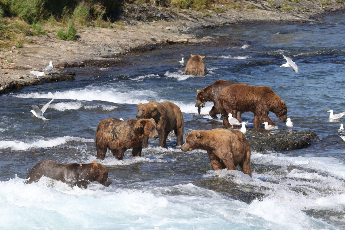 McNeil River bears fish for meals in 2016. (Courtesy Alaska Department of Fish and Game)