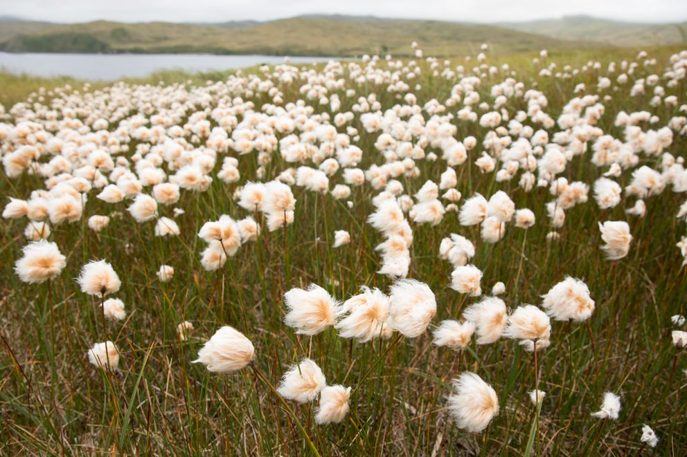 Alaska cottongrass on Kiska. (Lisa Hupp/USFWS)
