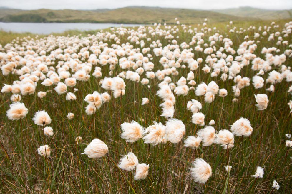 Alaska cottongrass on Kiska. (Lisa Hupp/USFWS)