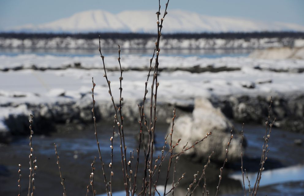 Pussy willows are visible near Ship Creek on the first day of spring, Tuesday, March 20, 2018. (Bill Roth / ADN)