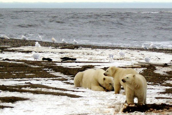 A polar bear sow and two cubs are seen on the Beaufort Sea coast within the 1002 Area of the Arctic National Wildlife Refuge in this undated handout photo provided by the U.S. Fish and Wildlife Service Alaska Image Library on December 21, 2005. Courtesy U.S. Fish and Wildlife Service/Handout via REUTERS